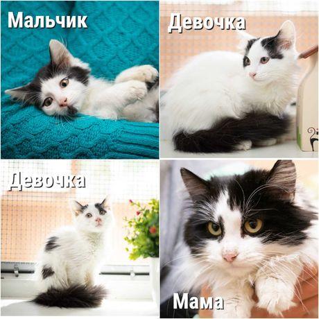 Котята в хорошие руки, 3 мес, полупушистые, белые с черным, котенок