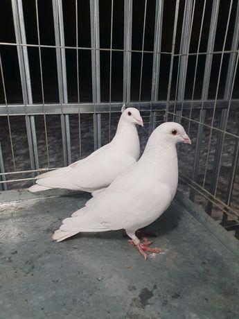 Białe gołębie pocztowe