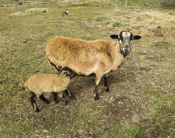 Owce kameruńskie oraz młode tryczki
