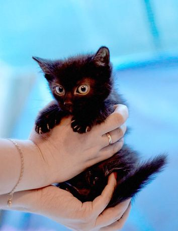Чёрная Кошка Панти, пока что котёнок! (Кошечка 1,5 месяца)