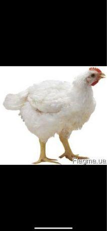 Инкубационное яйцо бройлера Чехия весом до 50 грам