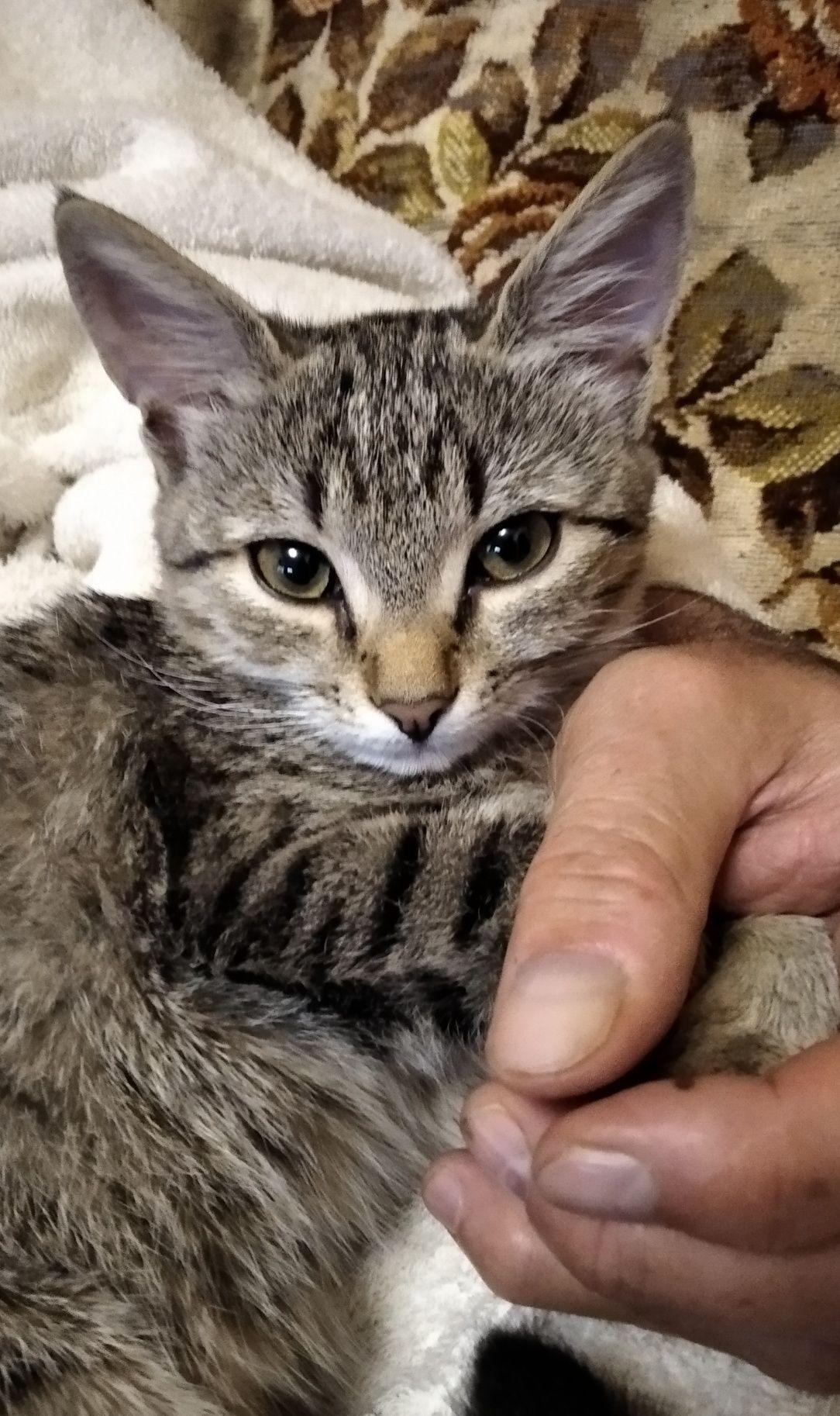 Добрейшая кототигра в добрые руки