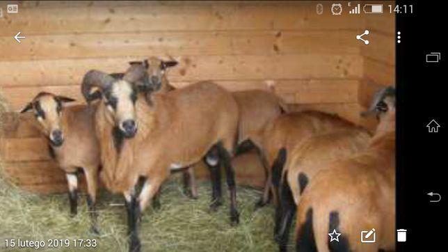 Owce kamerunskie stado zarodowe