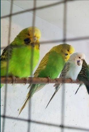 Papugi faliste papużki
