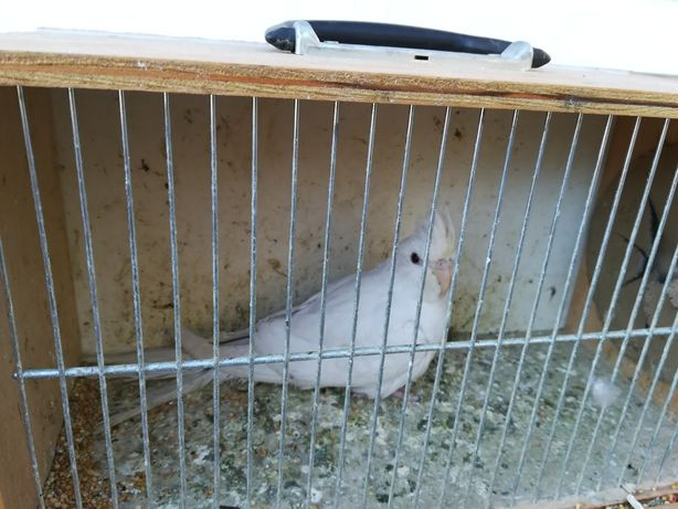 Papugi Nimfy albino i biało głowę od 90 do 130