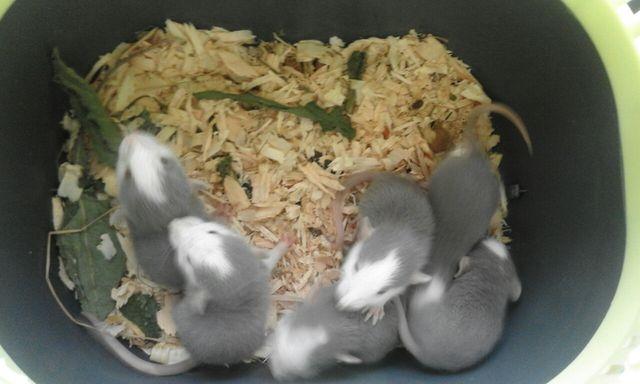 Szczury szczurki dumbo niebieskie rosyjskie husky