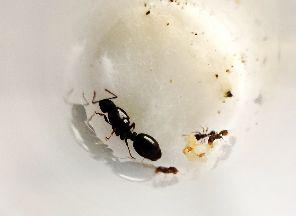 Mrówki Królowa Tetramorium + robotnice i larwy