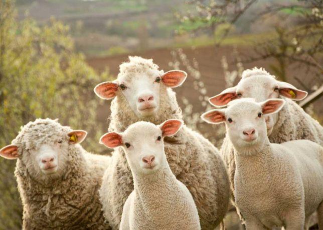 Продам овцематок