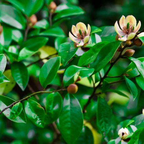 Plantas de Magnólias