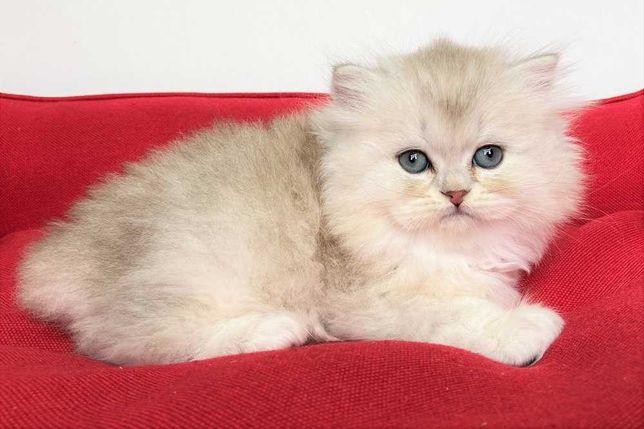 Шотландские котята окрасa сeрeбpиcтaя шиншилла
