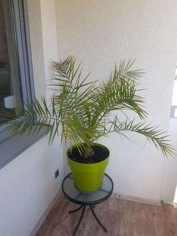 Palma - Daktylowiec kanaryjski (Phoenix canariensis hort.ex Chabaud)