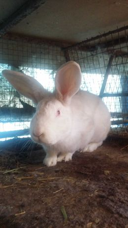 продам кролі панон  угорщина