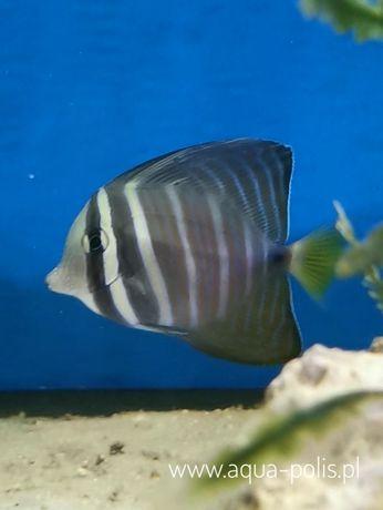 Zebrasoma veliferum - akwarium morskie