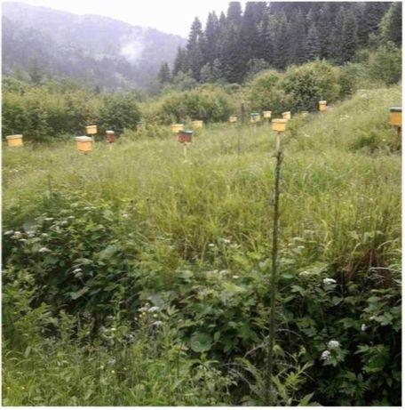 Карпатка Вучковского типа Пчеломатка