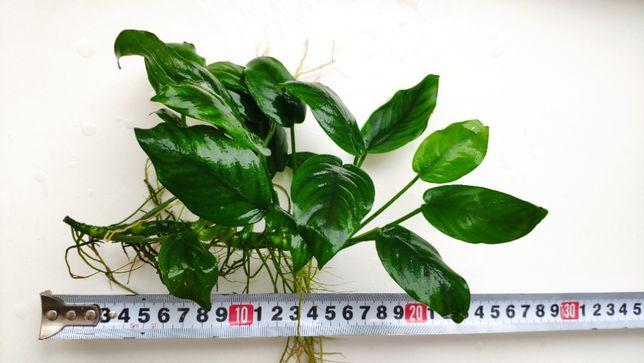 Анубиас нана — Anubias barteri var. nana. Растения для аквариума
