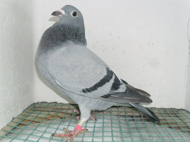 Gołębie pocztowe W.Tur x L.Dereń
