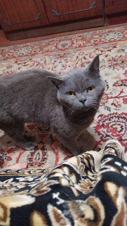 Отдам кошку британку, 3 года