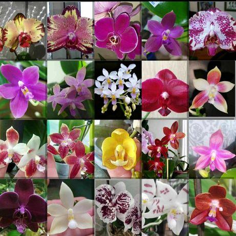 Продажа,и под заказ орхидей