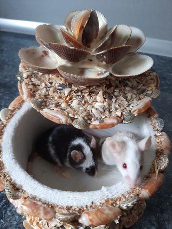 Мишки атласні, рекс