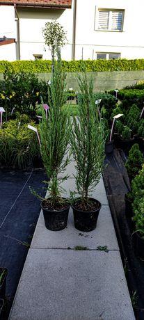 Jałowiec skalny BLUE ARROW Juniperus scopulorum