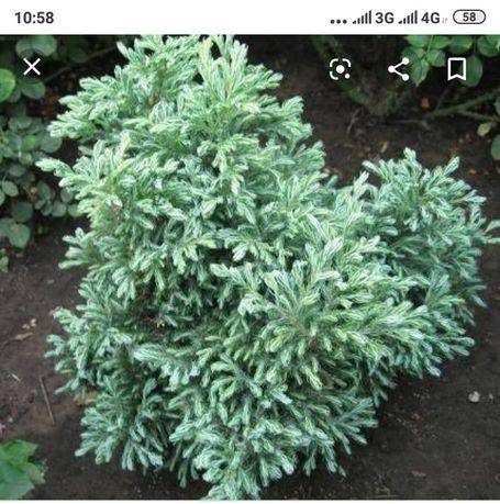 Кипарисовик декоративні рослини