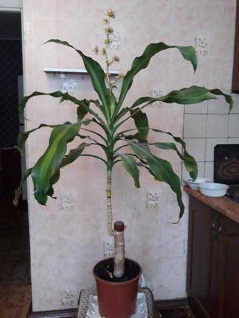 Юкка пальма слоновая ( цветет через каждые два года)
