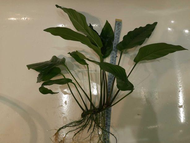 Анубиас гигантский