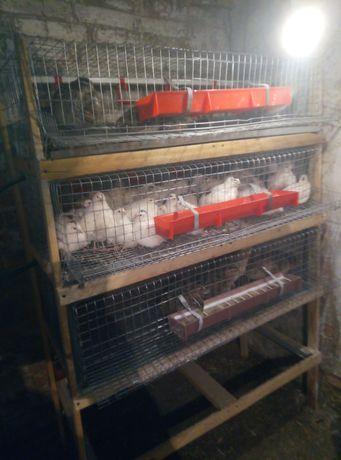 Перепелині яйця, м'ясо, перепілки