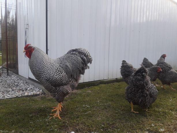 Jaja lęgowe kury Orawskie (jarzębiate)