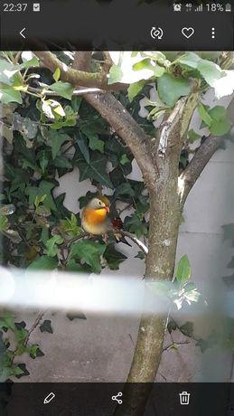 Aves incetivuras
