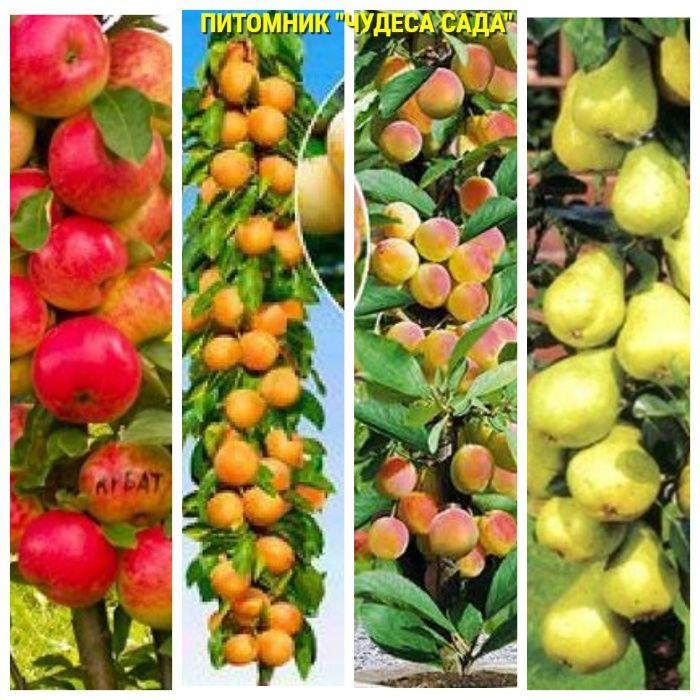 Саженцы колоновидных деревьев слива,персик, груша,черешня, яблоня.вишн Харьков - изображение 1