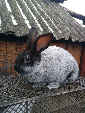 Кроли. Кролики