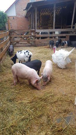 Вьетнамские подрощенные свини на  мясо