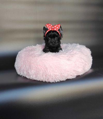 Yorkshire Terrier, suczka