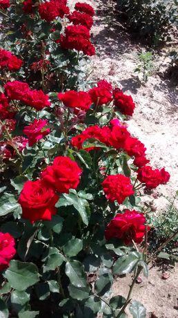 Róże, krzewy róż, sadzonki, róża krzew, wielkokwiatowe, rabatowe, pnąc