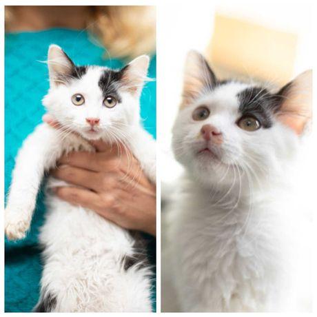 Маленькая красавица - кошка, белая с серым, ласковая, 5 мес, котенок