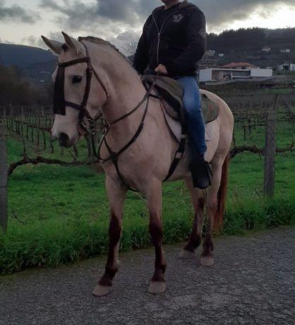 Cavalo hispano-árabe