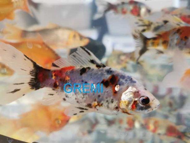 Ozdobne karasie , karasie ryby do oczka wodnego