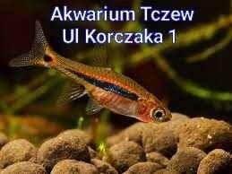 10 ryb razbora karłowata ul Korczaka 1 Tczew