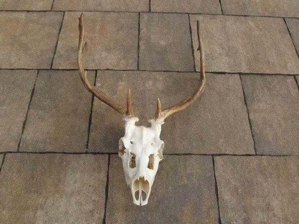 Poroże jelenia byka jeleń trofeum