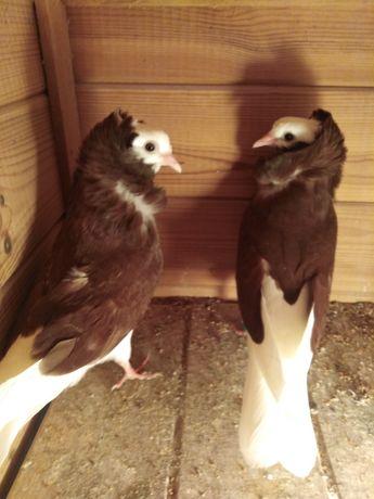 Gołębie ozdobne - kapucyny