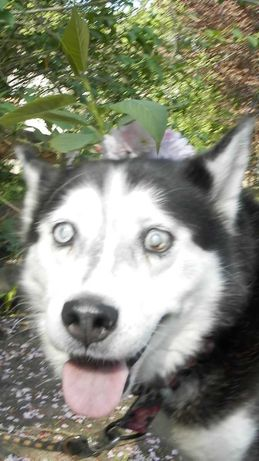 Siberian Husky - niewidoma sunia