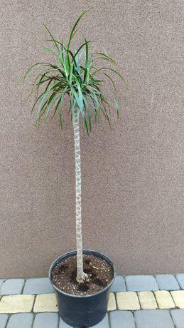 Kwiat doniczkowe Juka o wysokości 1 m 85 cm