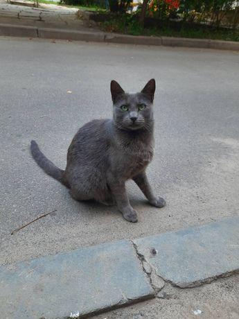 Срочно отдам серую кошку породы русская голубая , 1 год