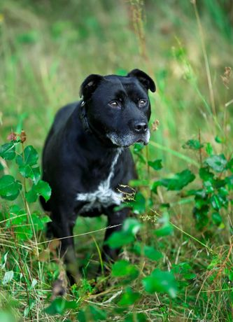 Piękny czarny pies w typie amstaffa