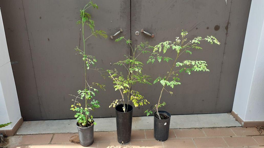 Vendo Plantas Moringa Algarve