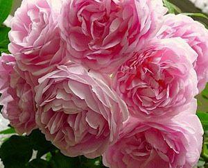 Саженцы плетистой розы крупно-цветкового сорта Жасмина двухлетки