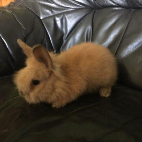 Декоративные (карликовые кролики) (Декоративні кролики)