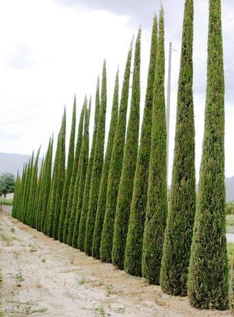 Cupresso semprevirens stricta (fino) 180~500 cm de altura