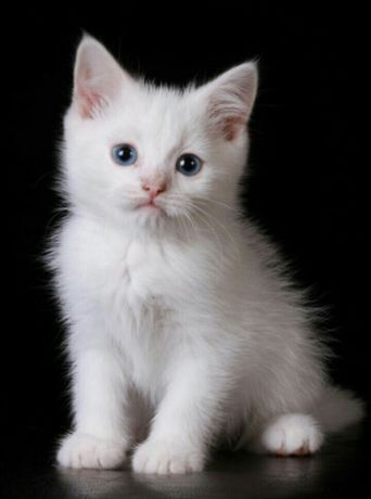 Котенок. Белая пушистая